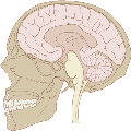 2000px-Skull_and_brain_sagittal.svg